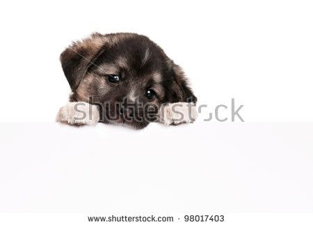 Cute puppy of 1,5 months old with empty board on a white background