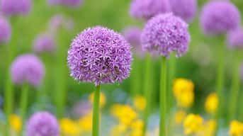 Začína sa obdobie okrasných cesnakov. Vaše už kvitnú?