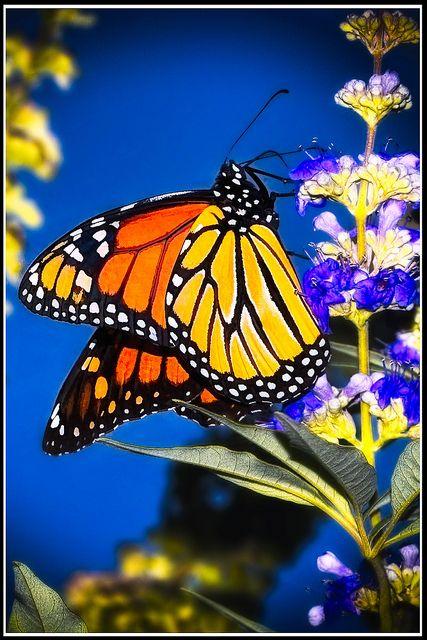Monarch: