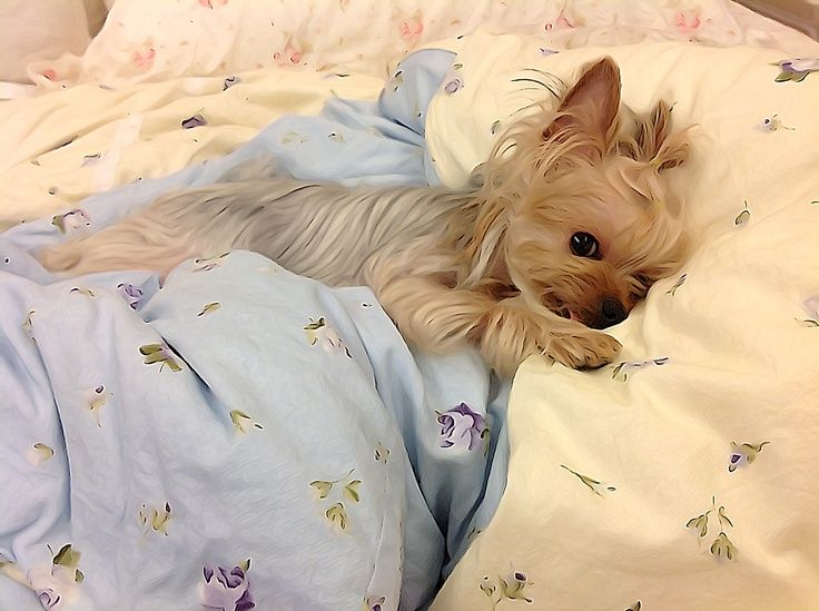 Napping Yorkie cutie