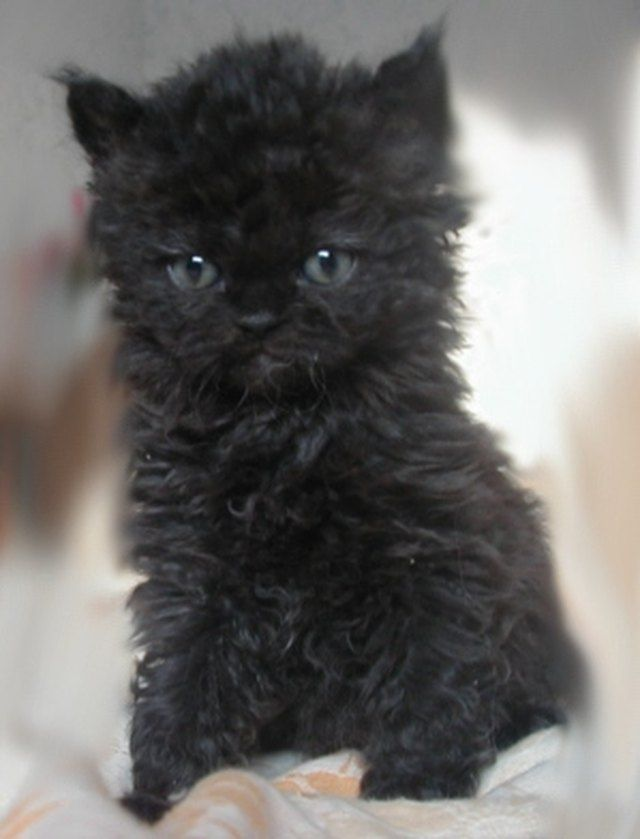 These Very Important Photos Of Curly Haired Poodle Cats Will