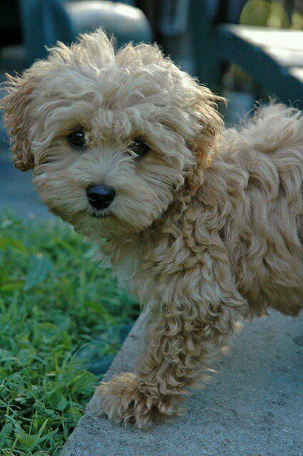 Oh my such a cute Maltese Poodle Puppy❤️ -Stylish Eve