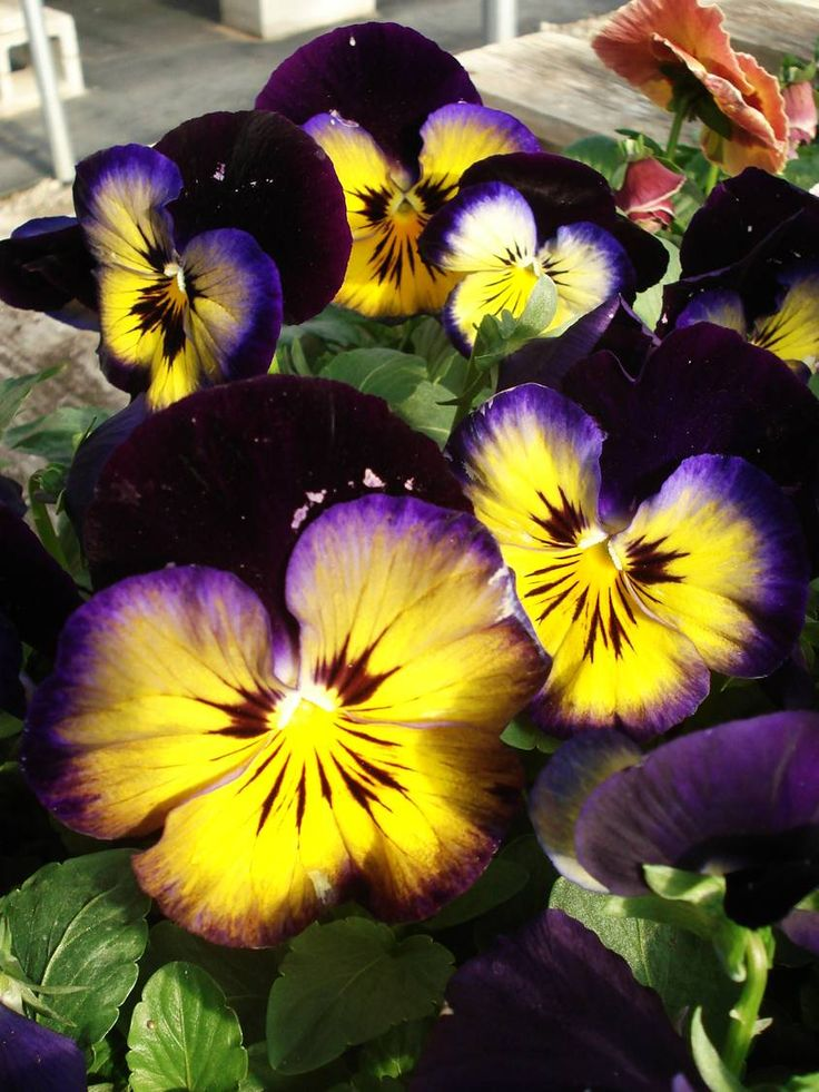 Pansies: Gardens Fun, Glow Pansies, Annual Flowers, Pansies Viola Violets, Midnight Glow, Pansies Recipes, Flowers Plants Gardens, Pansies Midnight, Flore Especiai