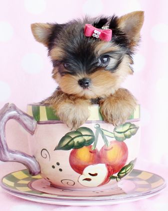 Teacup and Toy Breed Puppies For Sale in South Florida