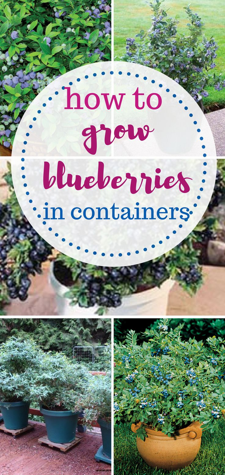 How to grow blueberries in containers AND Indoors!   Container Gardening, Gardening, Gardening Hacks, Gardening 101, Gardening Tips and Tricks, Growing Blueberries