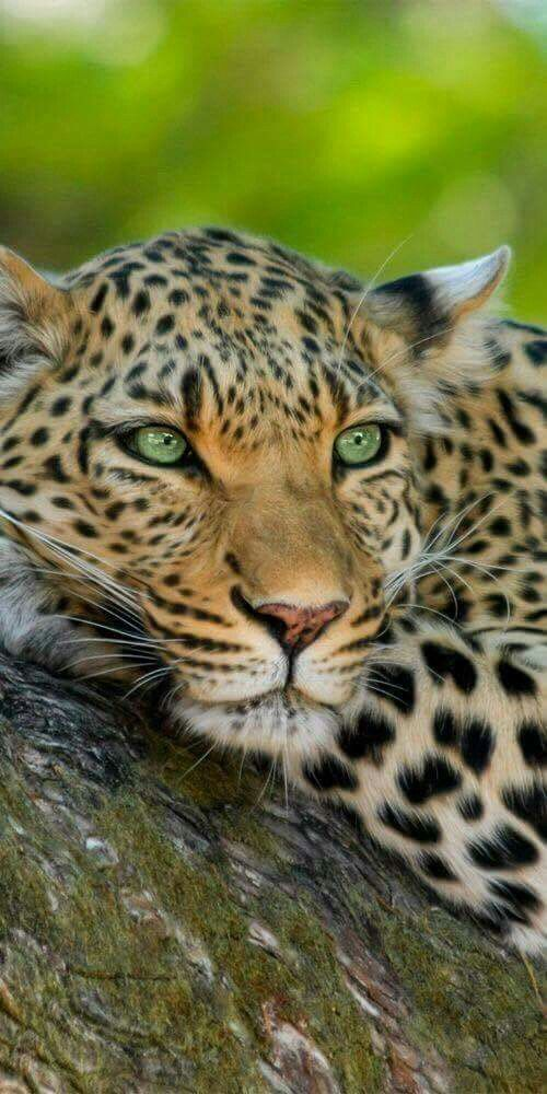 """Leopard: """"I don't know why but that cheetah over there is so dreamy. Maybe I should offer her to climb up a tree or maybe a trip to Nigeria where we can have a sweet feast...."""""""