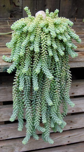 Donkey Tail Plant I have this plant in a birdbath with other succulents and it's gorgeous!!!