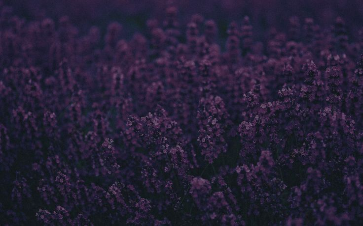 Lavender field @anestheticzx     #lavender #purple #seeds #aromatic #garden #plants #dark #field #anestheticzx #nature