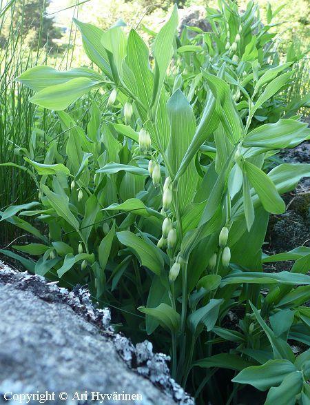 KALLIOKIELO -  GETRAMS Polygonatum odoratum. Kukinnon väri: valkoinen. Kukinta-aika: touko-kesäkuu. Valovaatimus: aurinkoinen-varjoinen. Korkeus: 30 cm. Kestävyys: hyvin kestävä. Lisätietoja: myrkyllinen.