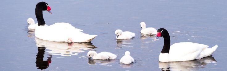 aves de Chile: cisne de cuello negro