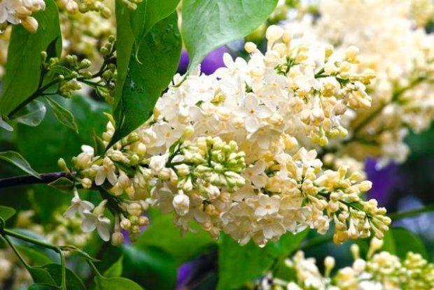 Lilak pospolity 'Primrose' (synonim 'Yellow Wonder') - modna odmiana, nieduży krzew dobry do małych ogrodów. Kremowe kwiaty