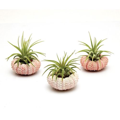 593 best easter basket ideas images on pinterest easter basket air plants in pink sea urchins easter gifts for adults easter basket ideas for negle Gallery