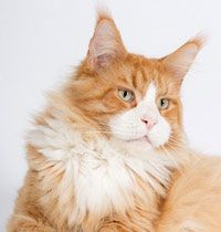 Maine Coon, Red Solid & White (d 09). Langstteich's XBel Baffin