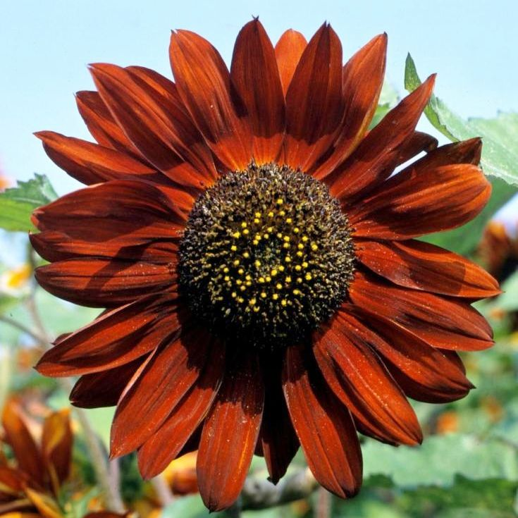 Grow Heirloom Sunflowers - Plant Velvet Queen Sunflower SeedsThe vibrant petals of Velvet Queen Sunflowers seem to glow with color, offset by the large, black center! Extra tall stalks produce a bounty of blooms that will set your summer garden ablaze with color!