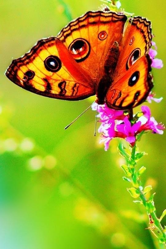 Buterfly Mariposa