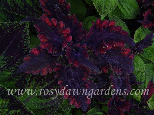 Coleus black beauty — img 4