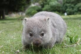 """""""wombat""""的图片搜索结果"""