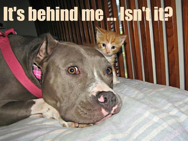 It's behind me isn't it?.....(truly funny because pit bulls are big babies)