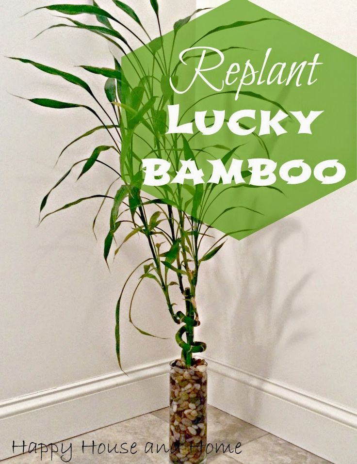 Replant Lucky Bamboo
