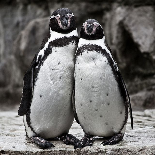 cute penguin couple - explored by Adam Foster | Codefor on Flickr