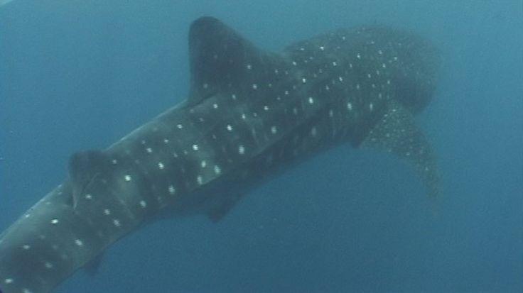 Whale shark, Donsol, Sorsogon #Donsol #Sorsogon #Bicol #Philippines #Butanding #Whale #Shark