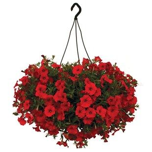 Petunia Surfinia Classic Trailing Red 2 Hanging Baskets