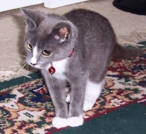 This little Russian Blue mix looks just like my baby ...