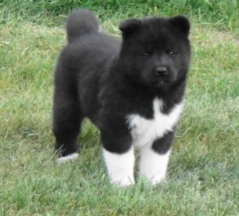 american akita puppies - Google Search