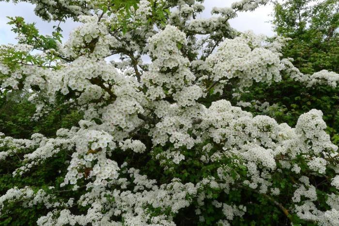Eine Hecke mit Blütenpracht wird durch den Weißdorn erreicht