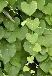 .: Heart Shape, Green Gardens, The Green Garden, Bleeding Heart, Green Heart, Natural Heart, Heart Leaves, Shape Leaves, Mothers Natural