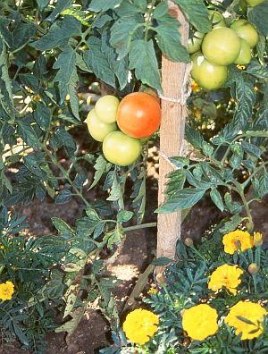 Luxury Mischkultur im Garten und auf dem Balkon