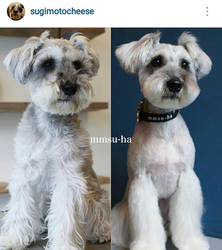 schnauzer haircut styles 17 best images about great grooming on poodles 2501