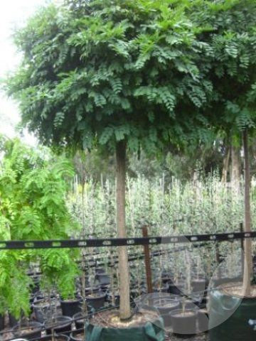 Speciality Trees - Robinia pseudoacacia 'Inermis'- MopTop Robinia