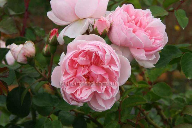 CLIMB. CINDERELLA* - Climbing rose