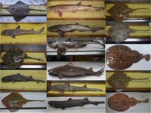 Al menos 25 especies de tiburones, rayas y quimeras pueblan los fondos del Mediterráneo Occidental