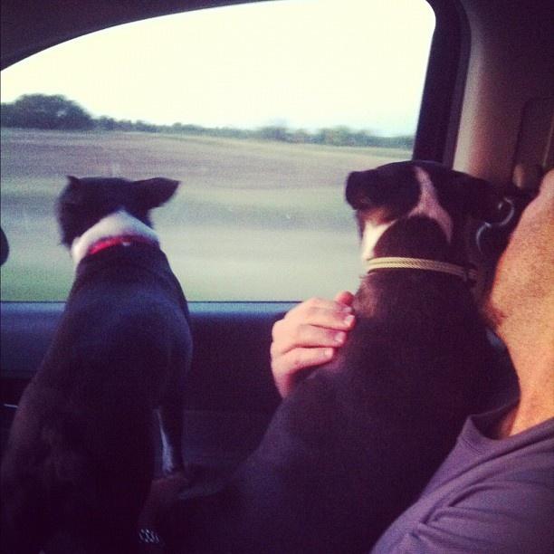 Roadtripping dogs.  #bostonterrier  #boston #terrier #photo