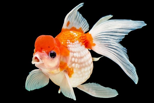 Pearlscale goldfish - photo#6