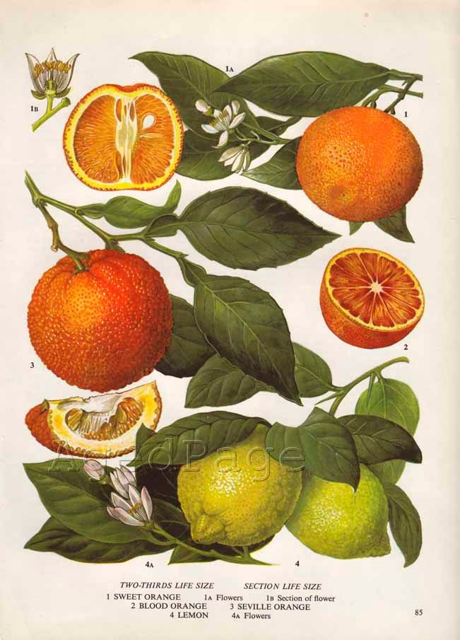 25 best botanical illustration ideas on pinterest for Fruit orange decoration