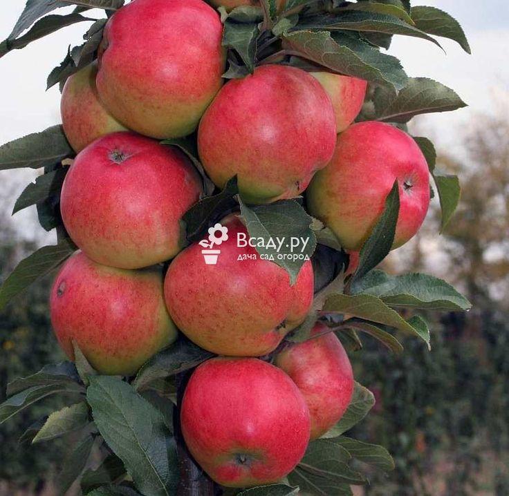 Колоновидная яблоня. Все от выбора сорта до сбора урожая фото