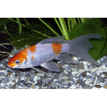 17 best images about cool guy stuff on pinterest copic for Petco koi fish