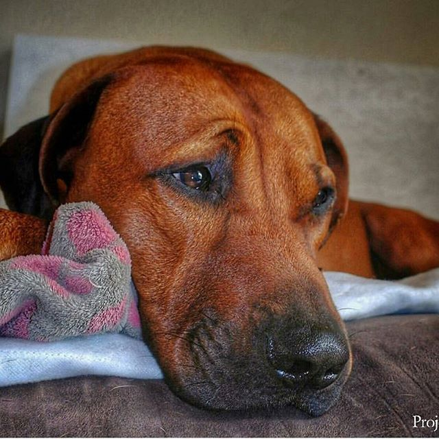 I'm devastated to write these words.  We lost another angel in our Project RR community.  Project RR's official leaping Rhodesian Ridgeback of Instagram, Doug @doug_world 💔🌷🌻🙏💔 The only way these losses can make sense in my head is by believing heaven needed their angels back sooner than expected. That our beautiful, innocent, gold-hearted babies are too good for this world. We mourn with you Andrea, Shani and family 🙏. We are here for you and we honor your beautiful Doug. Thank you…