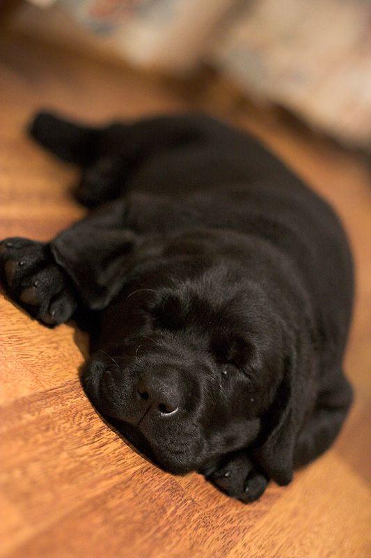 Black dog lying on back - photo#49