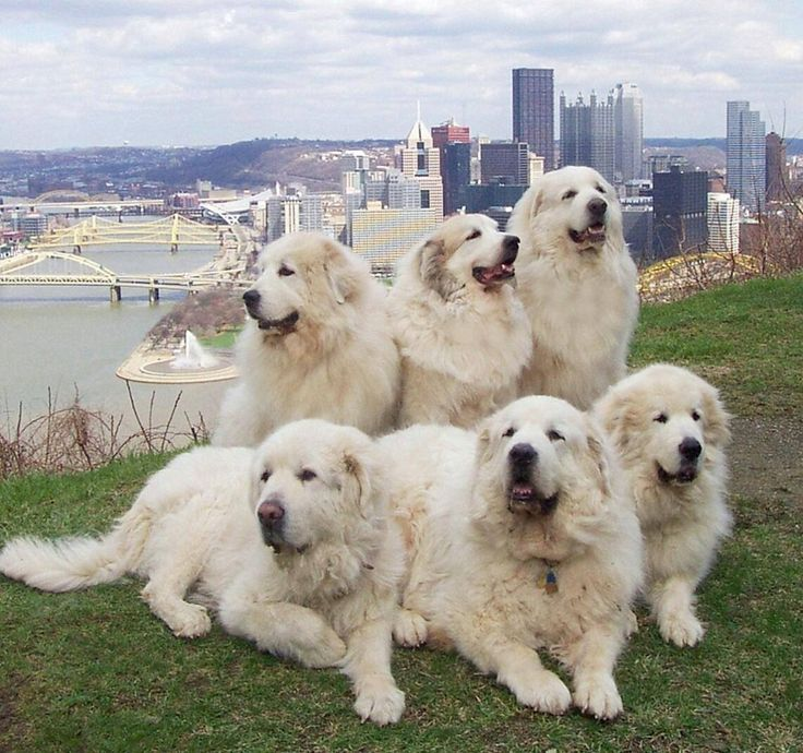 Great Pyrenees Club of Western Pa Rescue