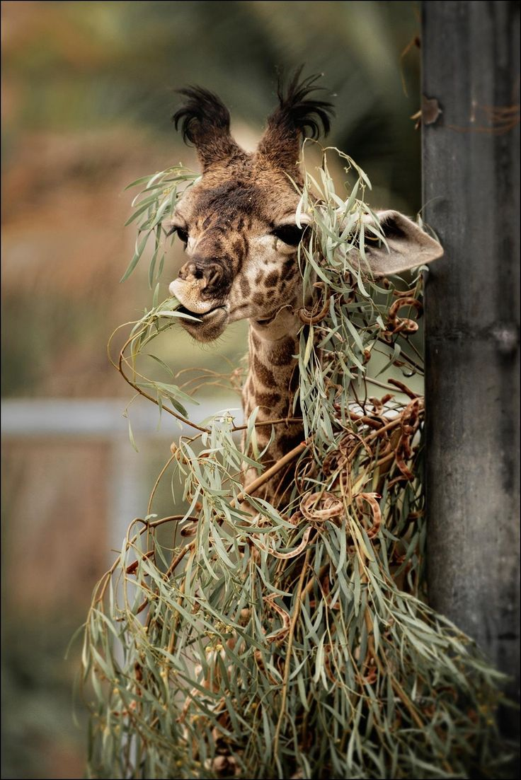The baby giraffe at the San Diego Zoo is trying to decide whether to eat the eucalyptus leaves or wear them. Photography by Laurie Rubin.