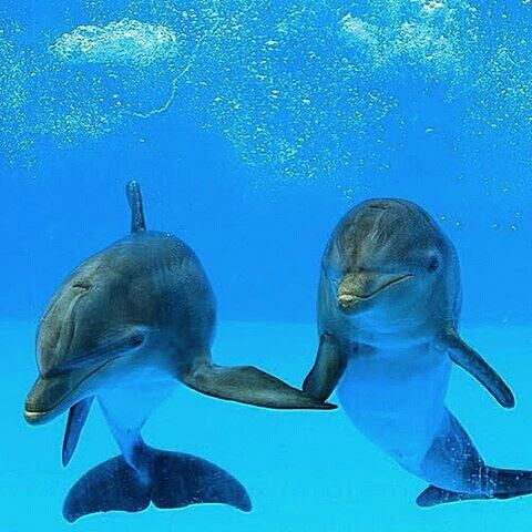 Dolphins holding 'hands' <3