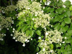 Hydrangea anomala ssp petiolaris 60-80 At/Co