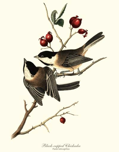 'Black-Capped Chickadee' giclee print by James Audubon via Charting Nature. , #birdprint #birdart #audubon