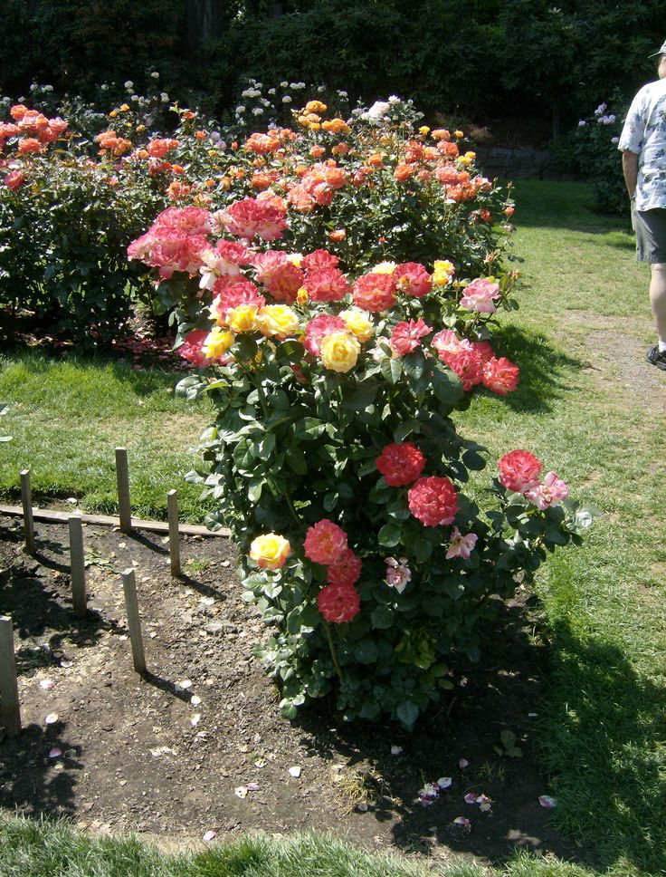 images of rose gardens - Google Search