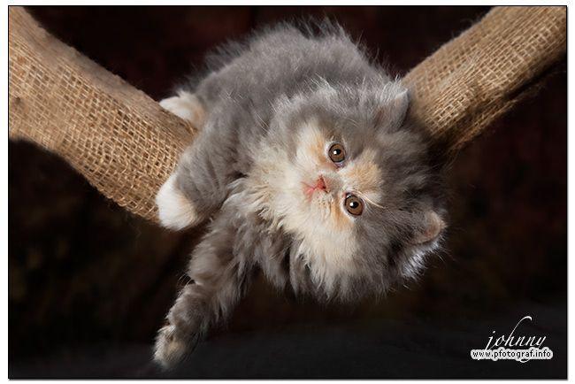 persian cat kitten - Perserkatzennachwuchs beim abhängen