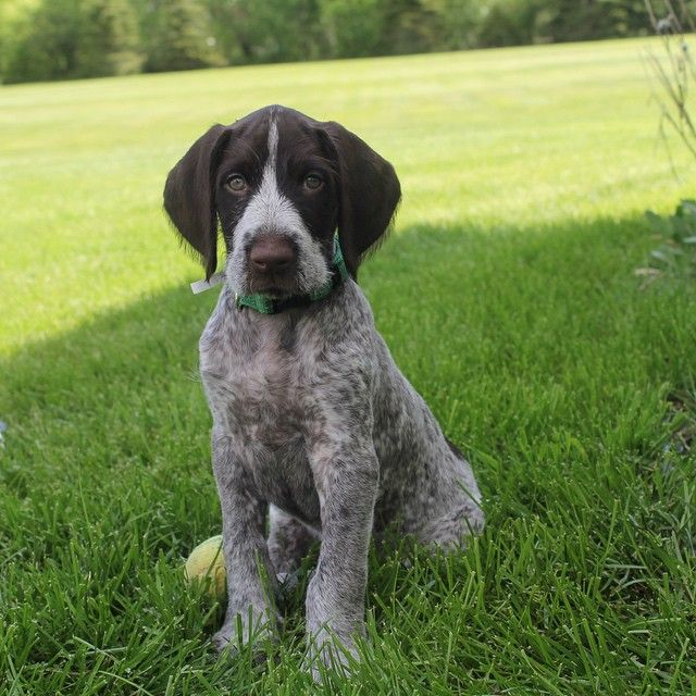 German Wirehaired Pointer Dog Breed Information | German ...